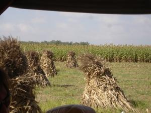 Lots of hay.